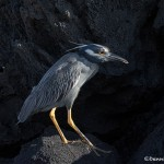 4006 Yellow-crowned Night-Heron (Nyctanassa violacea), Espanola Island, Galapagos