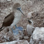 4008 Blue-footed Booby and Chick (Sula nebouxii), Espanola Island, Galapagos