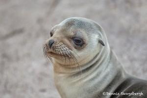 4010 Young Sea Lion, Espanola Island, Galapagos