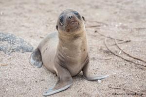 4013 Young Sea Lion, Espanola Island, Galapagos