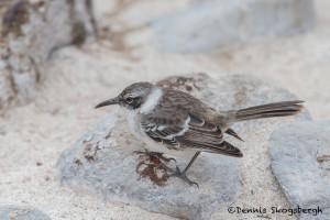 4016 Galapagos Mockingbird, San Cristobal Island, Galapagos
