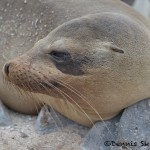 4017 Female Sea Lion, San Cristobal Island, Galapagos