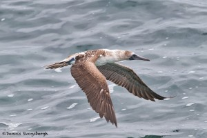 4021 Blue-footed Booby (Sula nebouxii), San Cristobal Island, Galapagos