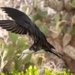 4027 Female Frigatebird, Genovesa Island, Galapagos