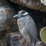 4030 Yellow-crowned Night Heron (Nyctanassa violacea), Genovesa Island, Galapagos