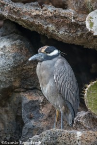 4030 Yellow-crowned Night Heron (Nyctanassa violacea), Genovesa Island, Galapagos