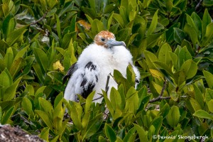 4031 Immature Frigatebird, Genovesa Island, Galapagos