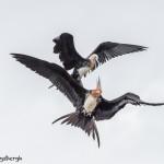 4032 Young Frigatebirds Antics, Genovesa Island, Galapagos