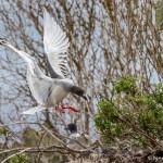4033 Swallow-tailed Gull (Creagrus furcatus), Genovesa Island, Galapagos