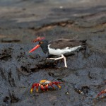4036 American Oystercatcher (Haematopus palliatus galapagensis), Santiago Island, Galapagos