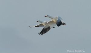 4039 Snow Geese (Chen caerulescens), Bosque del Apache, New Mexico