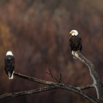 4041 Bald Eagles, Bosque del Apache, New Mexico