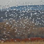 4044 Snow Geese (Chen caerulescens), Bosque del Apache, New Mexico