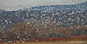 4044 Snow Geese (Chen caerulescens), Bosque del Apache, New Mexico