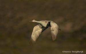 4046 Sandhill Crane (Grus canadensis), Bosque del Apache NWR, New Mexico