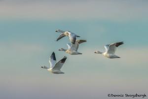 4048 Snow Geese at Sunrise (Chen caerulescens), Bosque del Apache, New Mexico