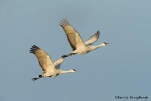 4049 Sandhill Cranes (Grus canadensis), Bosque del Apache NWR, New Mexico
