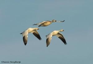 4050 Snow Geese (Chen caerulescens), Bosque del Apache, New Mexico