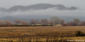 4051 Foggy Morning, Bosque del Apache, New Mexico