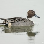 4052 Northern Pintail (Anas acuta), Bosque del Apache NWR, New Mexico