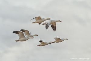 4053 Snow Geese (Chen caerulescens), Bosque del Apache, New Mexico