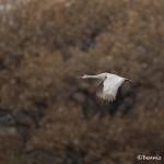 4055 Sandhill Crane (Grus canadensis), Bosque del Apache NWR, New Mexico