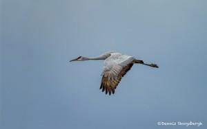 4056 Sandhill Crane (Grus canadensis), Bosque del Apache NWR, New Mexico