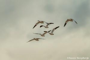 4057 Snow Geese (Chen caerulescens), Bosque del Apache, New Mexico