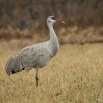 4064 Sandhill Crane (Grus canadensis), Bosque del Apache, New Mexico