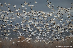 4068 Snow Geese 'Lift-off' (Chen caerulescens), Bosque del Apache, New Mexico