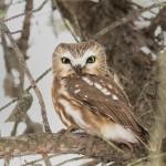 4069 Northern Saw-whet Owl (Aegolius acadicus ), Ontario, Canada