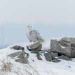 4070 Snowy Owl (Bubo scandiacus), Ontario, Canada