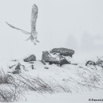 4072 Snowy Owl (Bubo scandiacus), Ontario, Canada