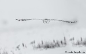 4073 Snowy Owl (Bubo scandiacus), Ontario, Canada