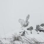 4075 Snowy Owl (Bubo scandiacus), Ontario, Canada