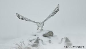 4076 Snowy Owl (Bubo scandiacus), Ontario, Canada