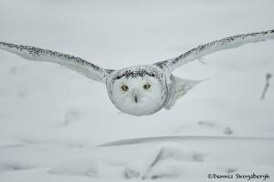 4077 Snowy Owl (Bubo scandiacus), Ontario, Canada