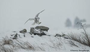 4078 Snowy Owl (Bubo scandiacus), Ontario, Canada