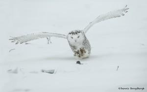 4079 Snowy Owl (Bubo scandiacus), Ontario, Canada