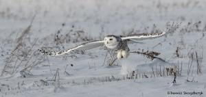 4080 Snowy Owl (Bubo scandiacus), Ontario, Canada