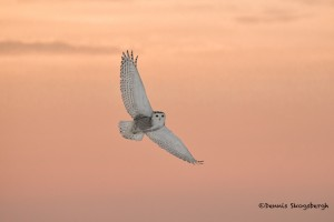 4081 Snowy Owl (Bubo scandiacus), Ontario, Canada