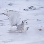 4085 Snowy Owl (Bubo scandiacus), Ontario, Canada