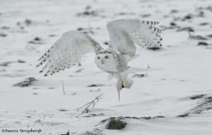 4090 Snowy Owl (Bubo scandiacus), Ontario, Canada