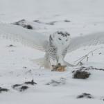 4092 Snowy Owl (Bubo scandiacus), Ontario, Canada