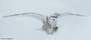 4093 Snowy Owl (Bubo scandiacus), Ontario, Canada