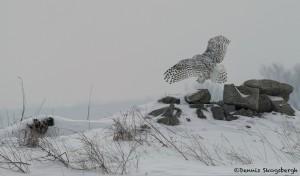 4094 Snowy Owl (Bubo scandiacus), Ontario, Canada
