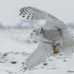 4095 Snowy Owl (Bubo scandiacus), Ontario, Canada