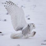 4096 Snowy Owl (Bubo scandiacus), Ontario, Canada