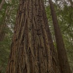4107 Redwoods, The Forest of Nisene Marks State Park, Big Sur, CA