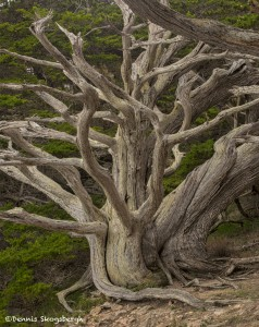 4109 Gnarly Old Monterey Cypress Tree, Point Lobos State Reserve, Big Sur, California